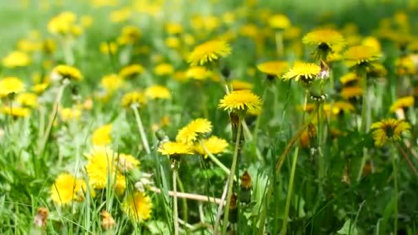 Žluté dandelii na louce v zahradě.