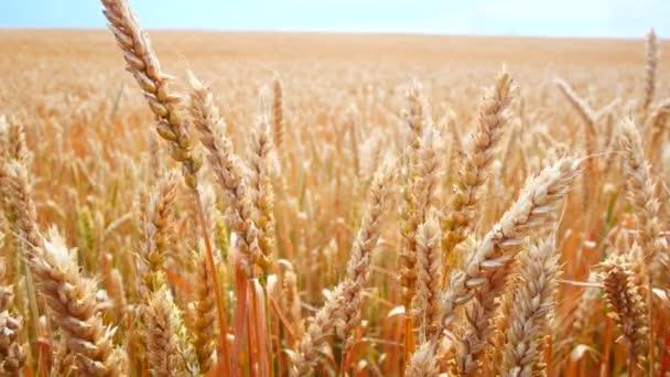 Pšeničné pole. Zlaté uši pšenice na hřišti. Vítr rozmachuje sklizeň obilných plodin.