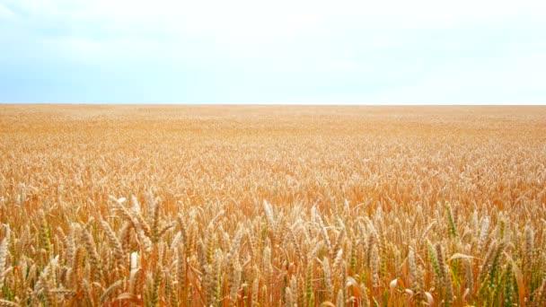 Wheat field. Golden ears of wheat on the field. The wind swings the harvest of grain crops.