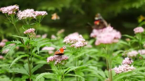 Krásná mnohobarevný motýl opyluje květinu
