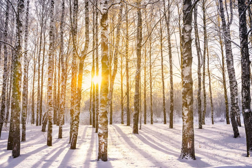 Beautiful landscape with birch grove with frozen  and covered snow branches in winter