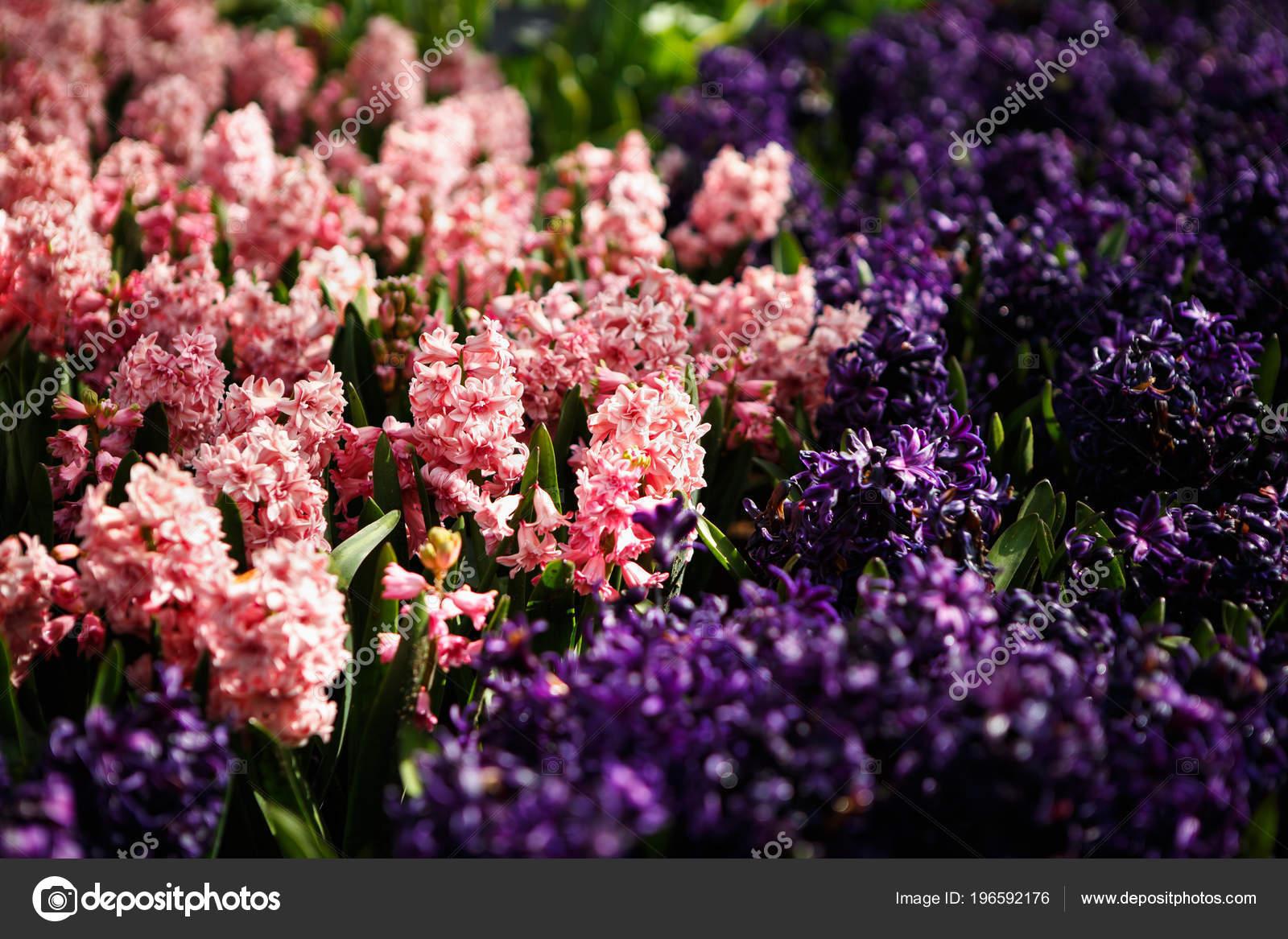 Beautiful Colorful Violet Dahlias Flowers Bloom Spring Garden