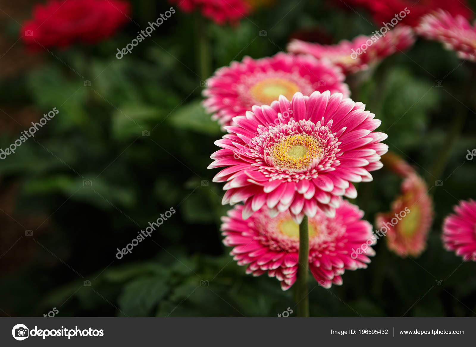 Beautiful Colorful Pink Transvaal Daisies Flowers Bloom Spring