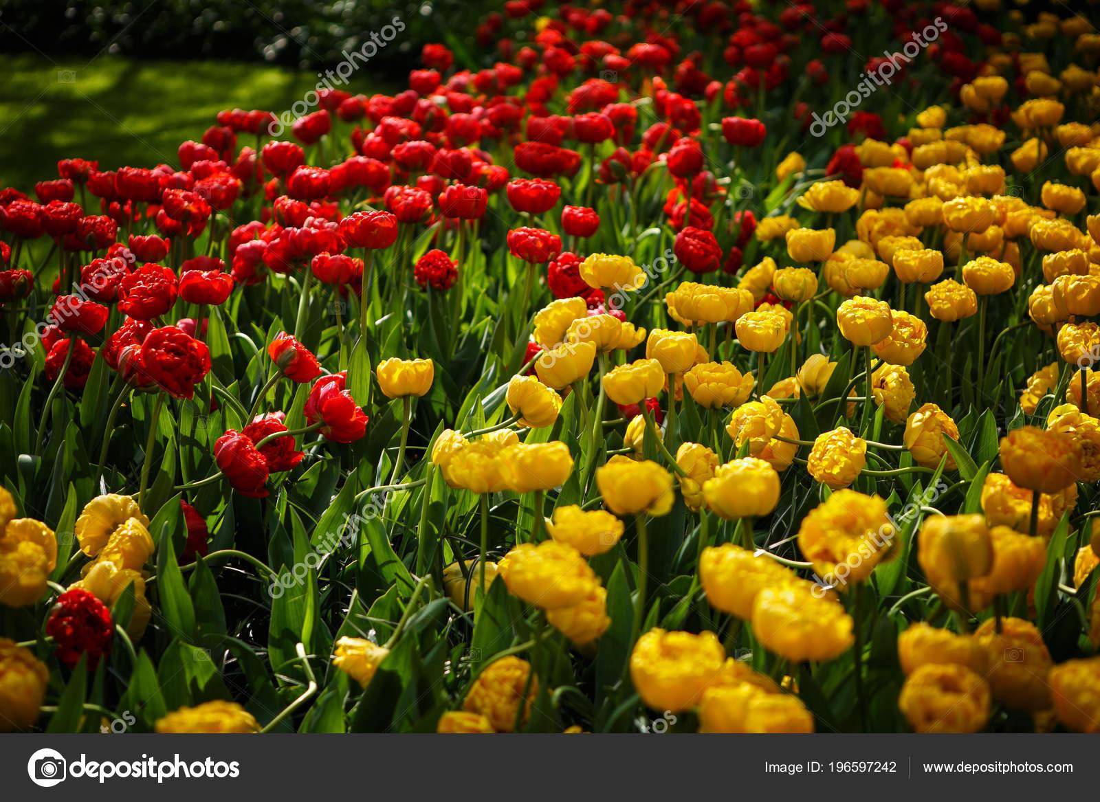 Hermosos Tulipanes Rojos Amarillos Coloridas Flores Florecen Jardin