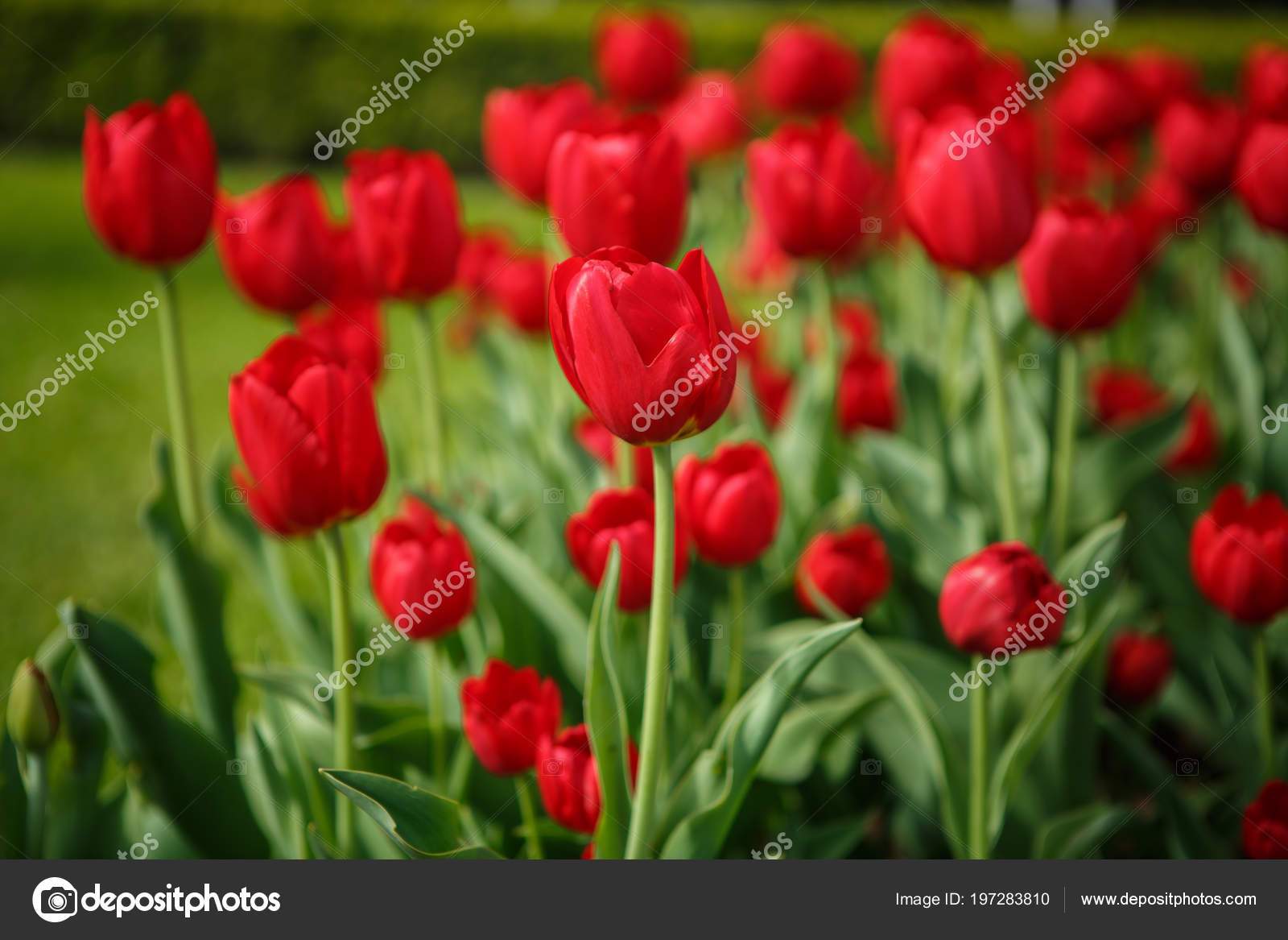 Beautiful Colorful Red Tulip Flowers Bloom Spring Garden Decorative