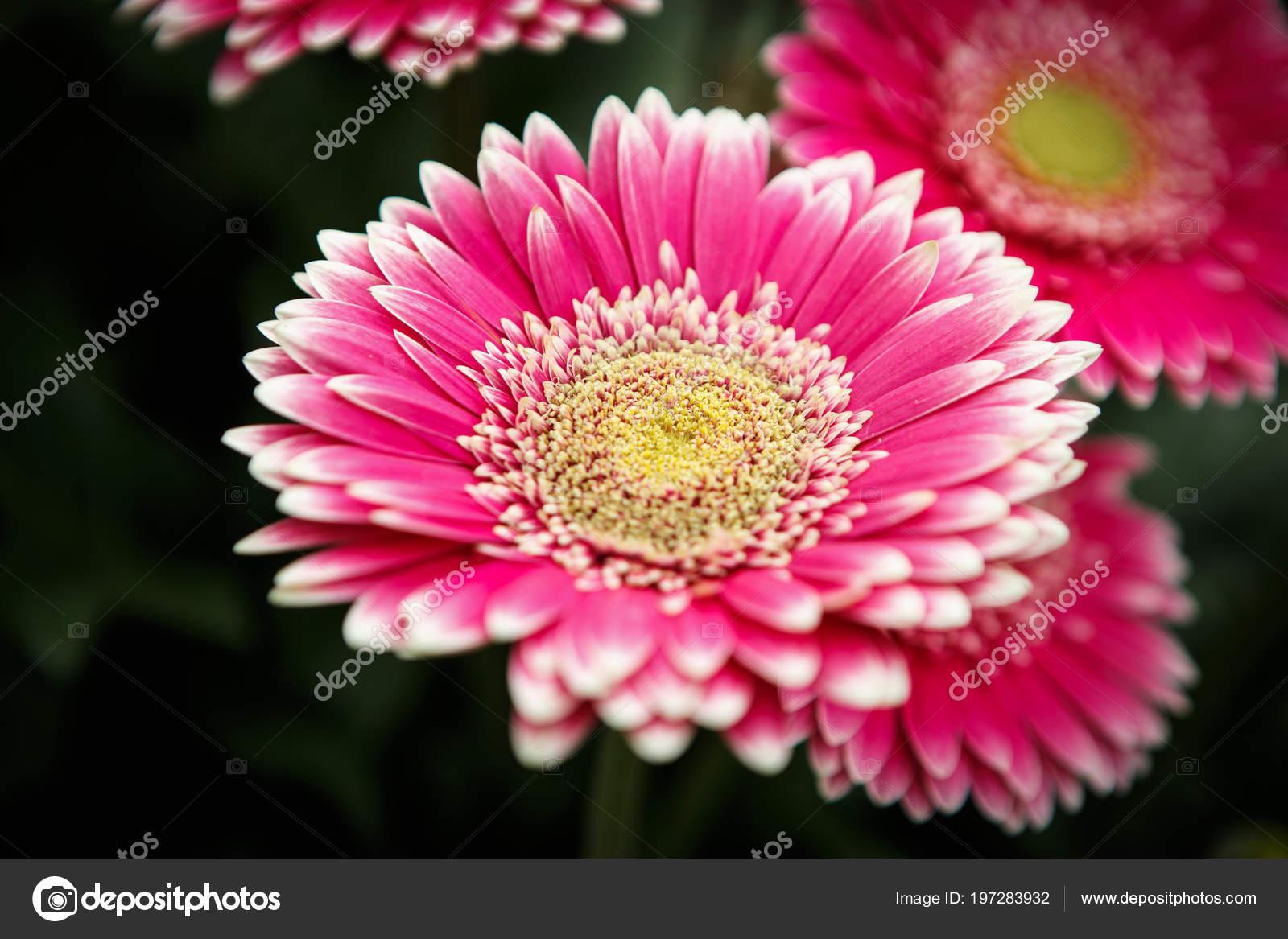 Hermoso Colorido Rosa Transvaal Margaritas Flores Florecen Jardin