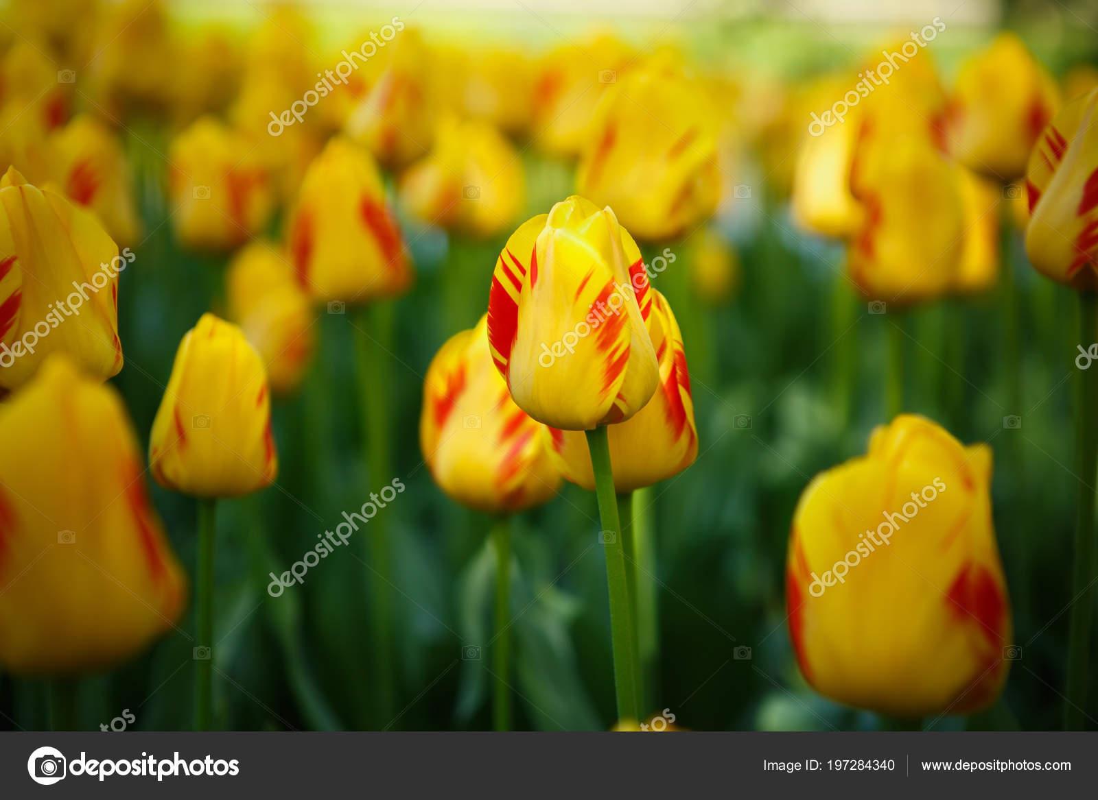 Hermosos Tulipanes Amarillos Rojos Colores Flores Florecen Jardin