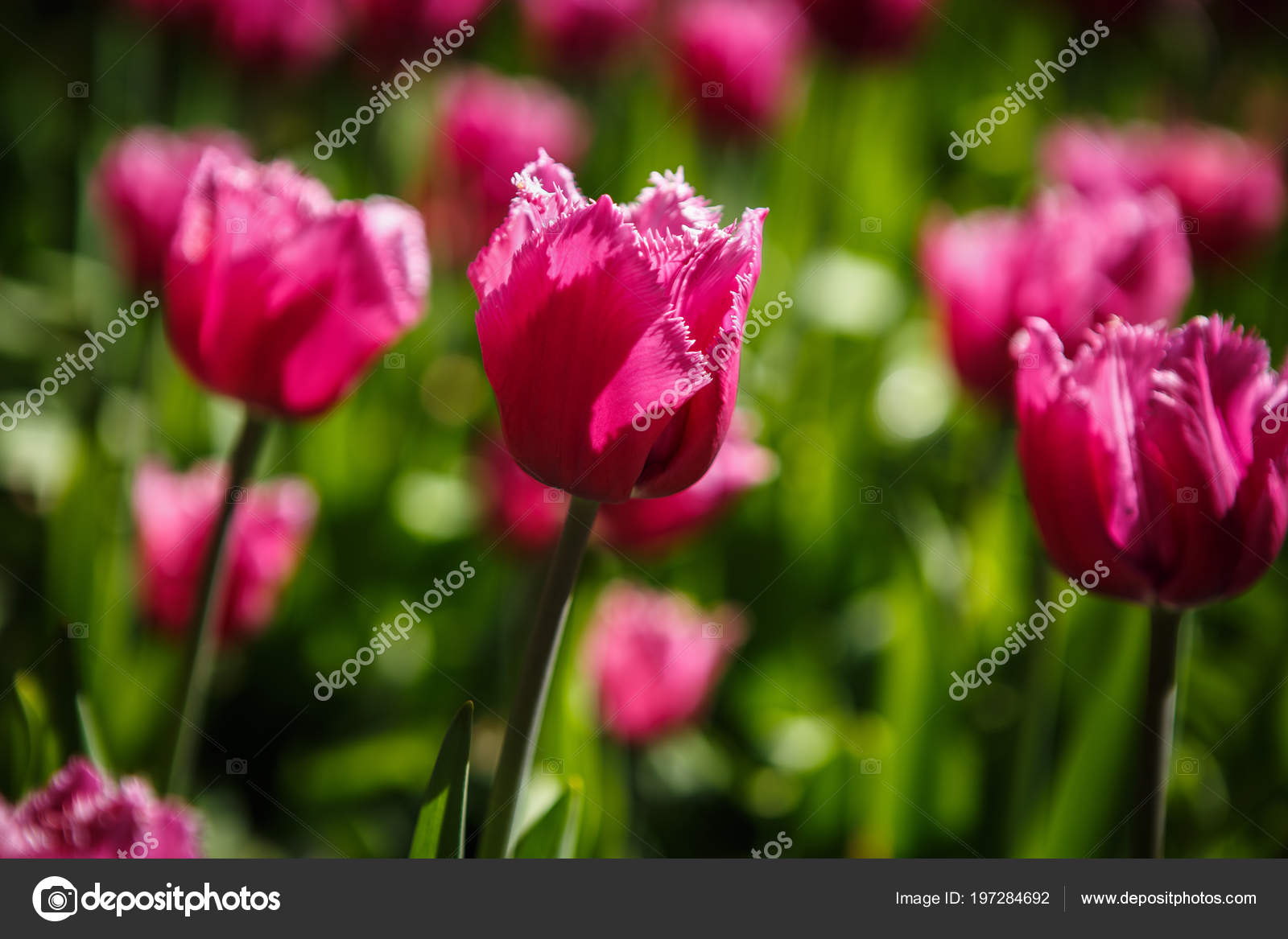 Beautiful colorful pink tulips flowers bloom spring garden beautiful colorful pink tulips flowers bloom in spring gardencorative wallpaper with red tulipa flower blossom in springtimeauty of nature poster izmirmasajfo