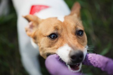 Little Jack Russell puppy playing with puller toy in teeth. Location is green park outdoors. Cute small domestic dog, good friend for a family and kids. Friendly and playful canine breed