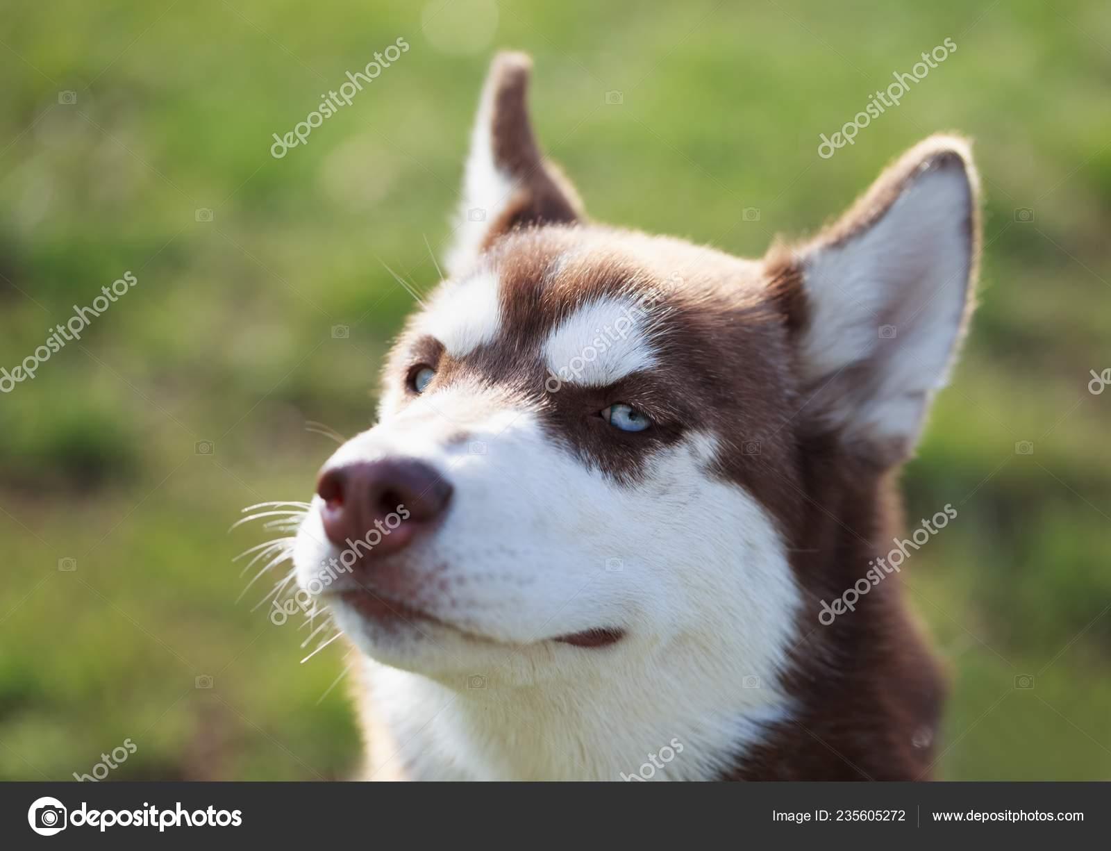 Porträt Des Jungen Flauschige Siberian Husky Hund Braunem Fell Und