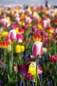 Gyönyörű, színes, különböző tulipán virágok nyílnak a tavaszi kert. Dekoratív háttérkép egzotikus tulipán virágok tavaszi réten. Poszter természet szépségét. Élénk és természetes színek