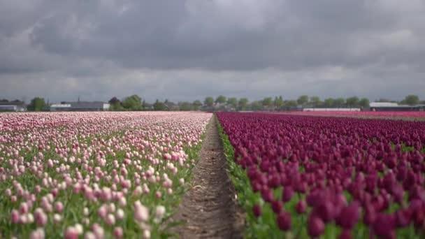 Krásné tulipánský květ v Nizozemsku pod dramatickou oblačinou před deštěm. Purpurové a růžové tulipány rostou na farmě vně zahrady Keukenhof. Úžasné krajinné video o okrasných rostlinách v Evropě