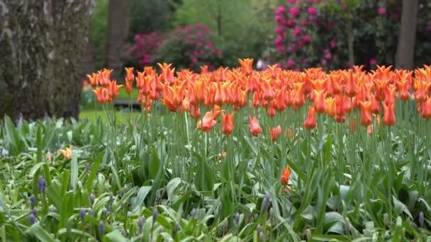 Beautiful orange flowers blooming in dutch garden outside Keukenhof town.Footage of rare tulip flower in birght color
