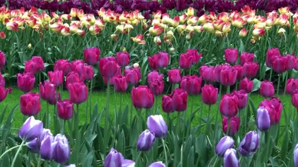 Beautiful tulips flowers blooming in outdoor garden in Amsterdam.Traditional tulip flower field with pink,violet and yellow plants growing in Netherlands