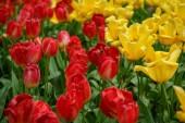 Tulipán virágok kert Hollandiában. Tavaszi természet virágzik közelről. Gyönyörű virágos háttérrel egzotikus virágok virágzó holland területeken. Természet szépsége a holland virág rajzolatú