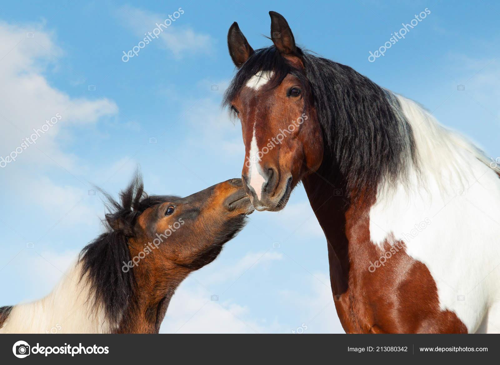 Koncepce Pinto Shetlend Pony Polibi Velke Sedlo Kone Stock