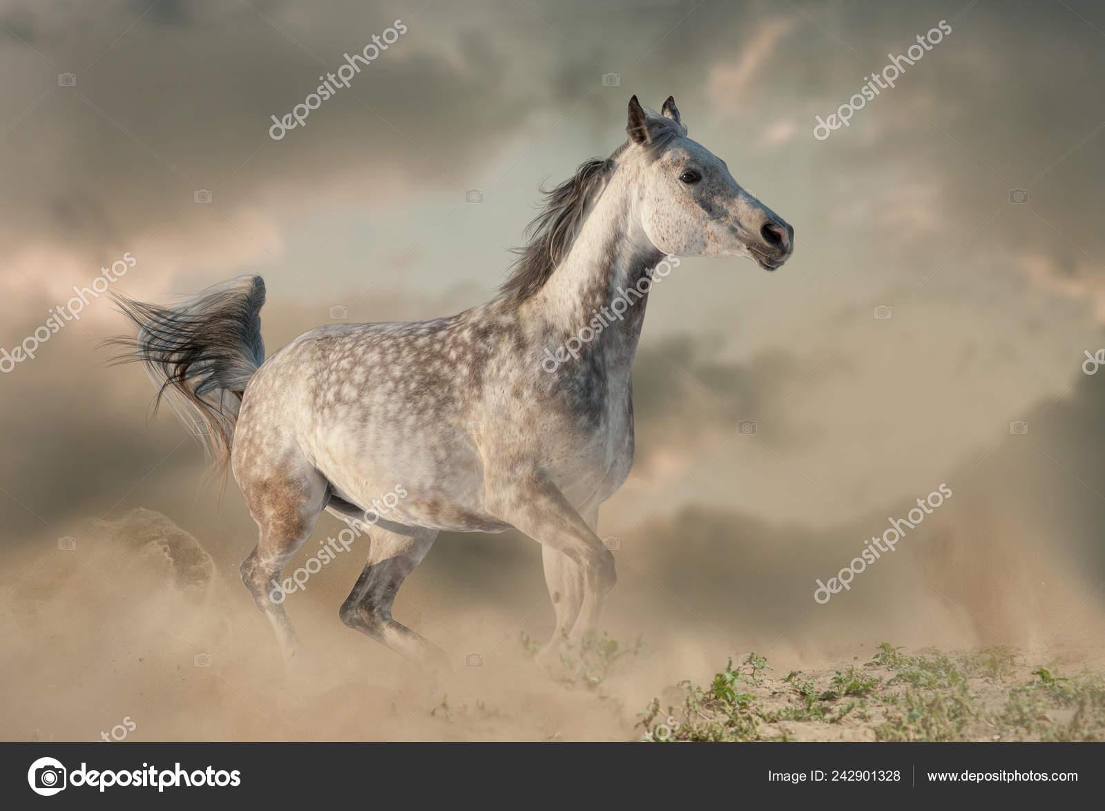 Beautiful Arabian Horse Dust Running Wild Stock Photo C Mari Art 242901328