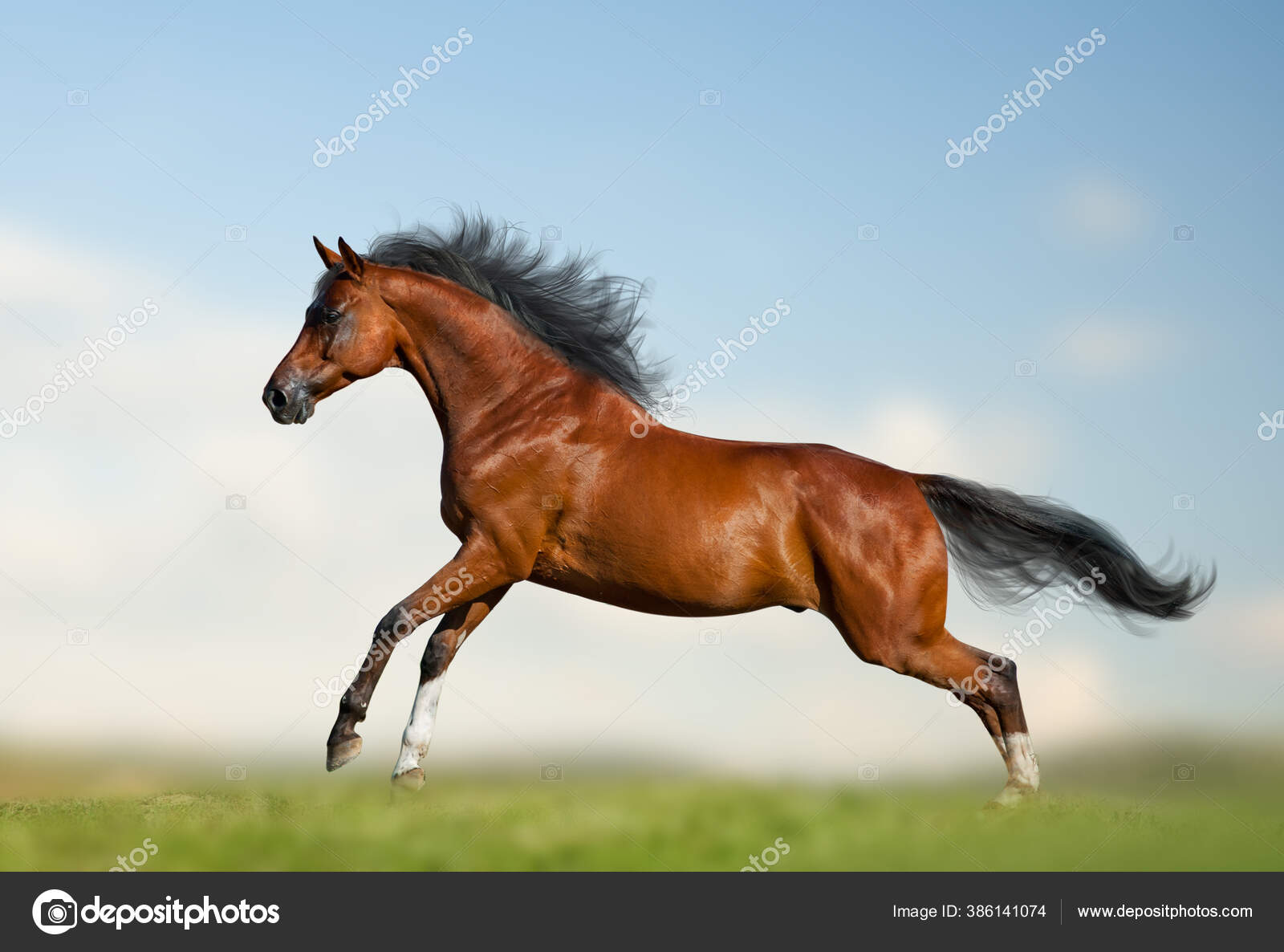 Beautiful Bay Horse Running Gallop Wild Bay Stallion Running Nature Stock Photo C Mari Art 386141074
