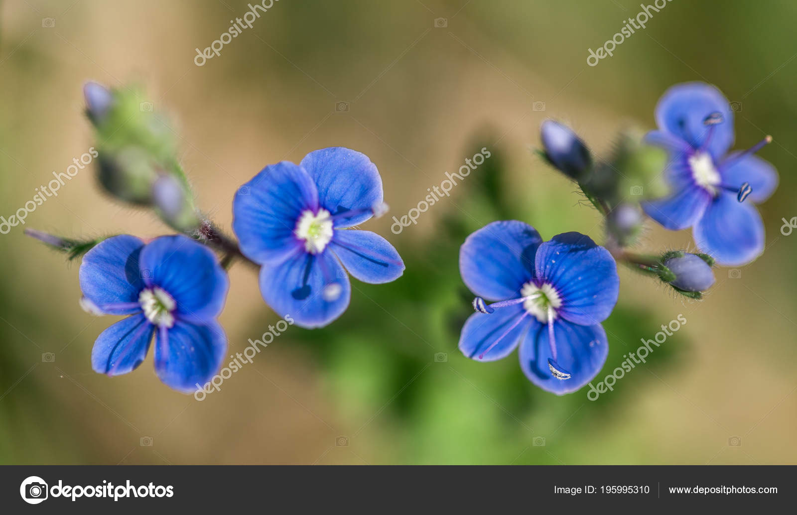 Close Up Of Small Blue Spring Summer Flowers Speedwell Birds Eye