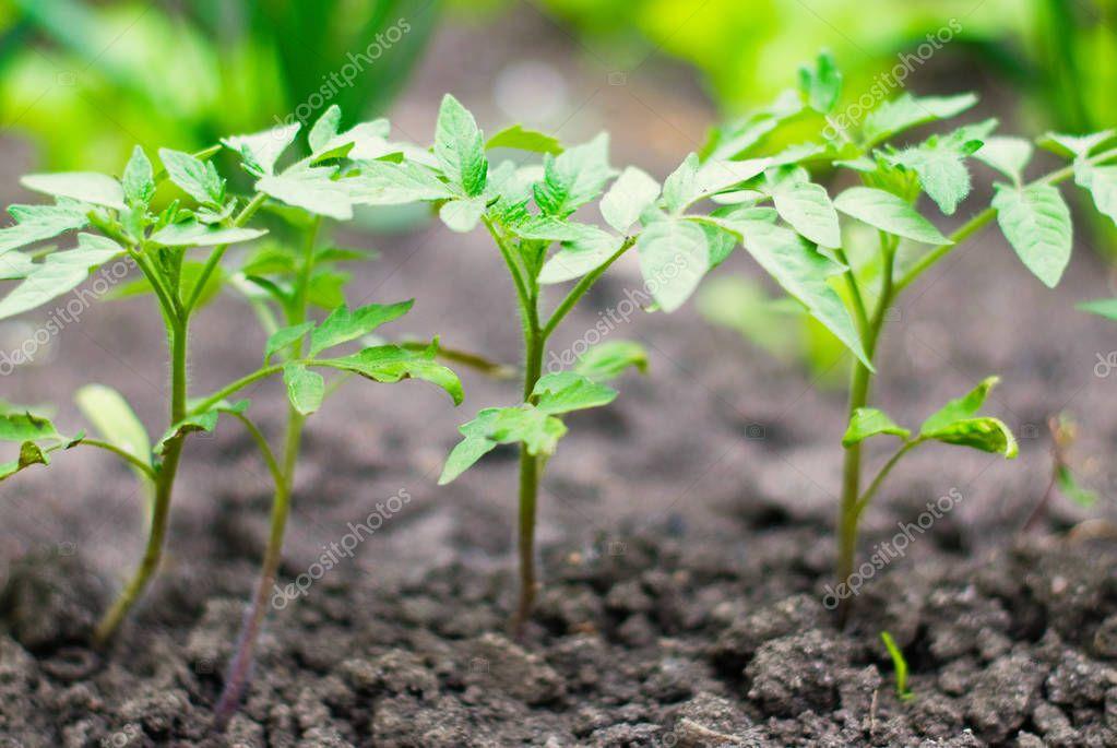 Garden Harvest - Gardening - Fresh Natural Vegetables - Tomato