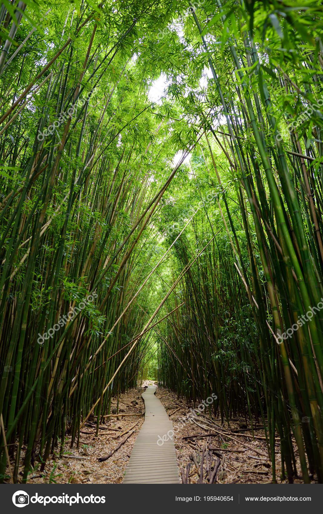 Weg Durch Dichten Bambuswald Auf Maui Hawaii Usa Stockfoto