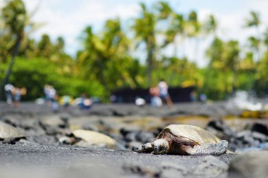 Hawaiian green turtles at Punaluu Black Sand Beach on Big Island of Hawaii, USA