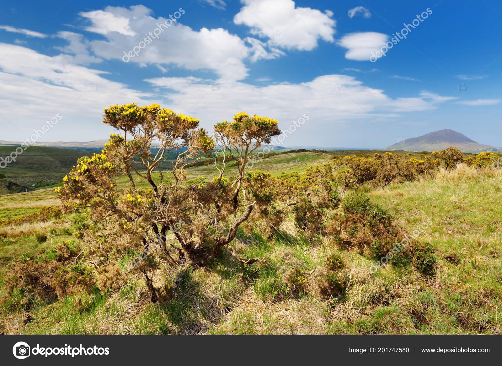 Distant View Bush Yellow Flowers Connemara National Park Diamond