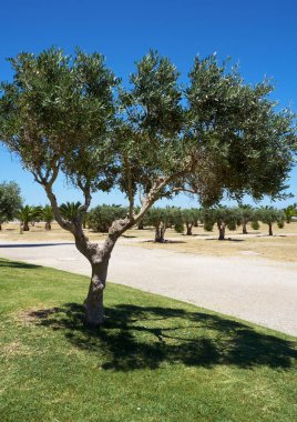 The olive tree in the park of the Sanctuary of Christ the King. Portugal