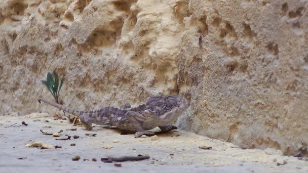 Chameleon, sedí poblíž kamenné zdi. Malta