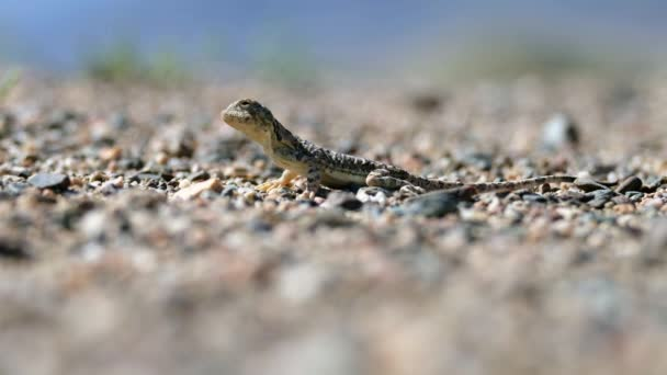Toad-headed agamas Phrynocephalus in natural environment of mongolian desert sits on gravel and then runs away. Western Mongolia.