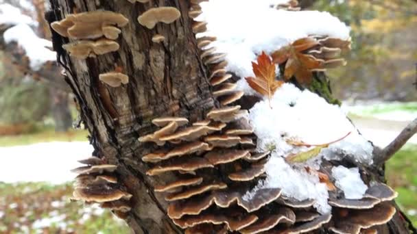 Polypore mushrooms on tree trunk of hawthorn in winter season
