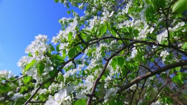Zpomalení videa bílých jabloně-strom květiny na modré obloze pozadí