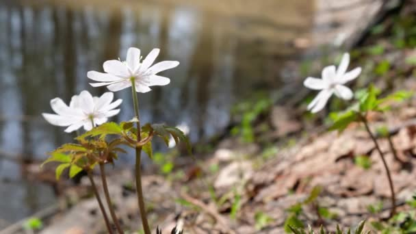 Anemone altaica  flowers in spring siberian forest near small creek