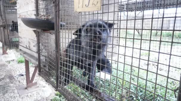 Fur farm. Black fox in a cage looking outside