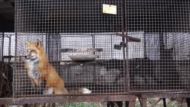 Kožešinová farma. Červená liška v kleci mimo