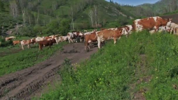 stádo krav pasoucích se na zelené louce