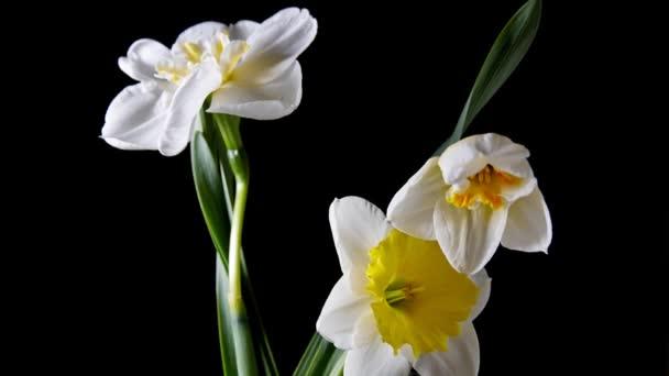 Otevírání květ narcisu na černém pozadí