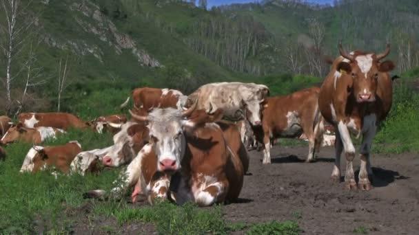 Herd of cows grazing on green meadow