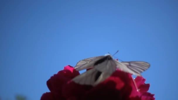 Nahaufnahme von Schmetterlingen beim Nektarsammeln