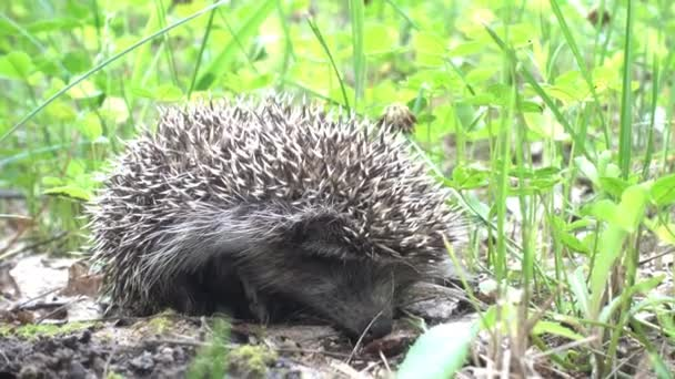 footage of adorable hedgehog in green grass