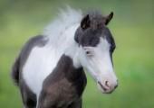 Americký miniaturní kůň. Portrét zblízka pinto hříbě s modrýma očima na rozmazané pozadí zelené