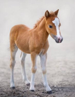 American Miniature Horse. Portrait chestnut foal with blaze facial mark on blurred background.