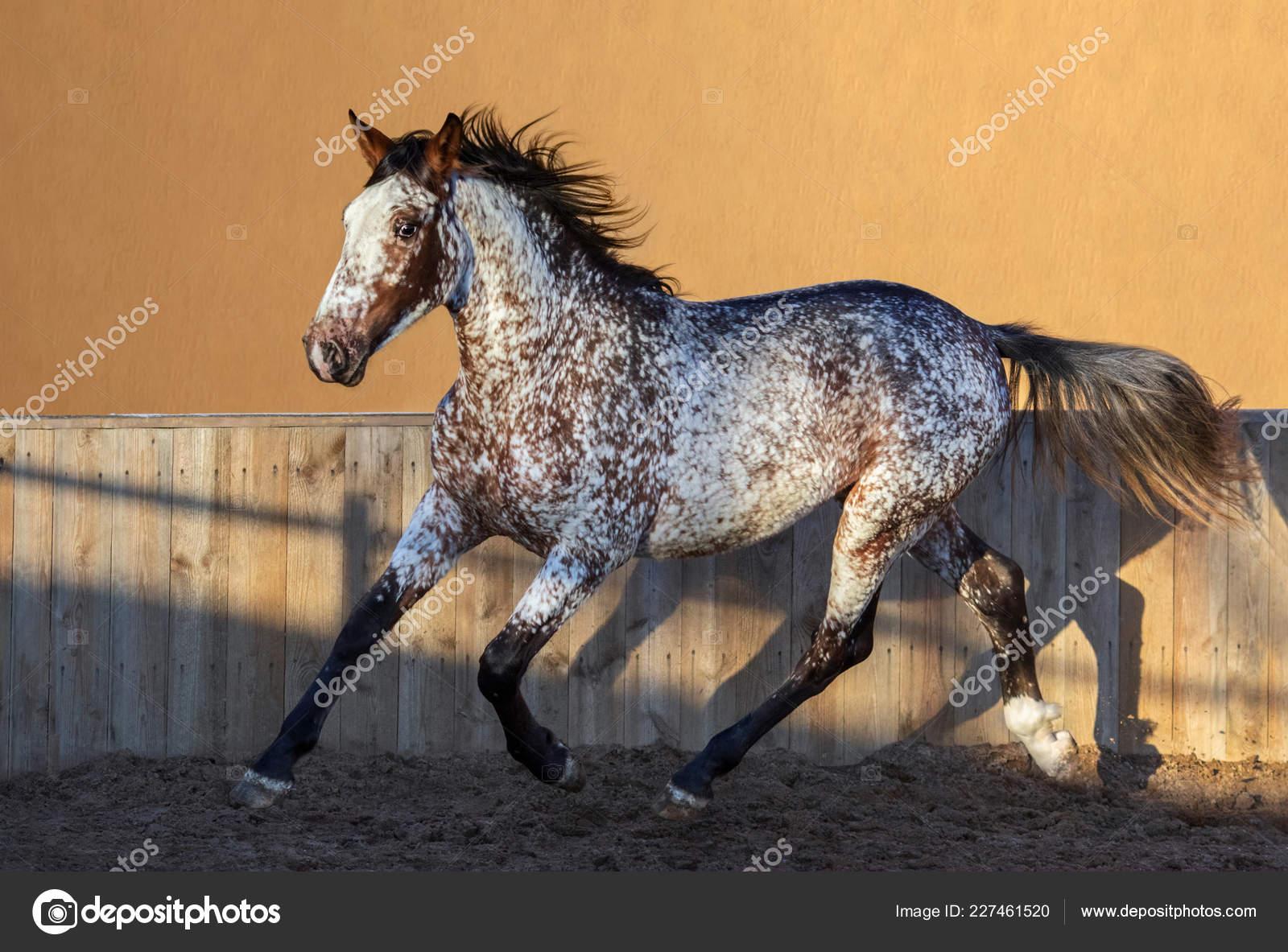 ᐈ Appaloosa Horses Stock Pictures Royalty Free Appaloosa Photos Download On Depositphotos