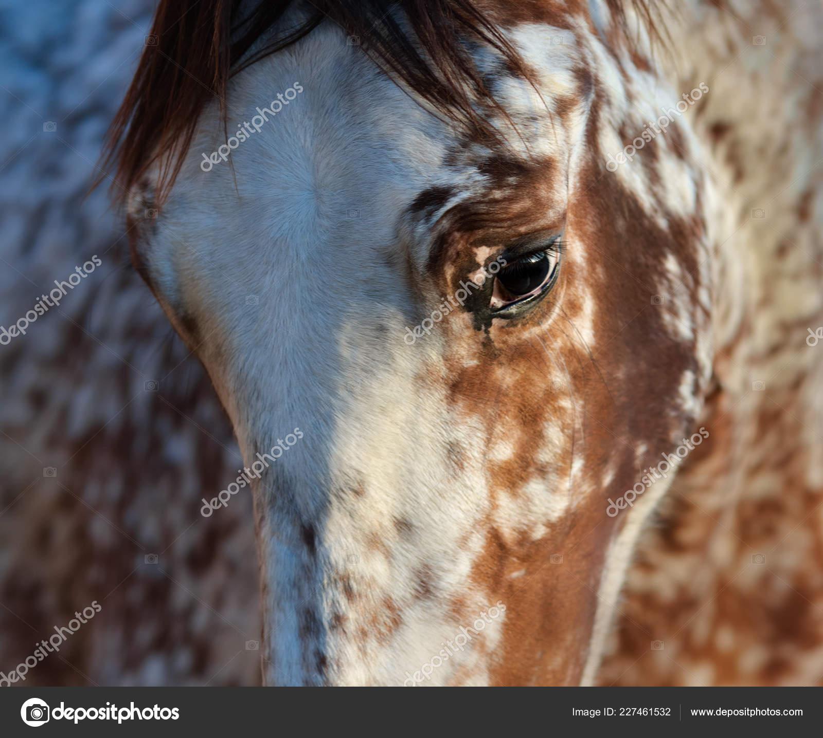 Beautiful Rare Unique Color Appaloosa Crossbreed Appaloosa Andalusian Horse Stock Photo C Tristana 227461532