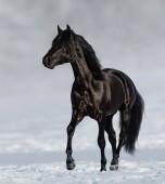 Nero andaluso cavallo trotto su prato di neve con priorità bassa della natura blured.
