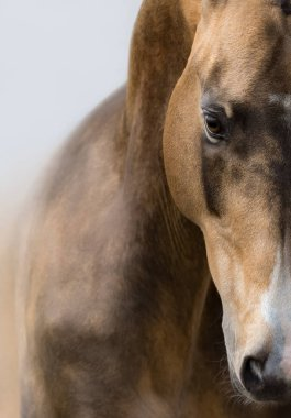 Vertical close up portrait of Akhalteke golden buckskin horse.