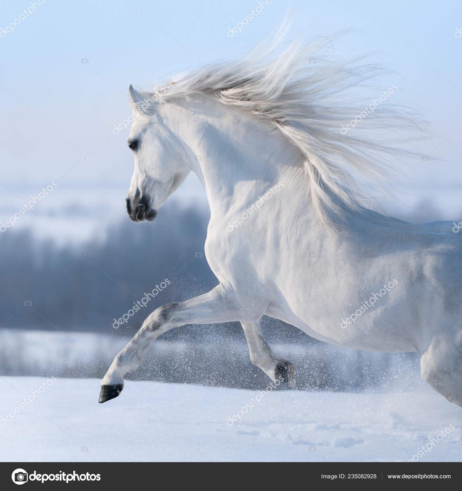 Beautiful White Horse Long Mane Galloping Winter Snowy Meadow Stock Photo C Tristana 235082928