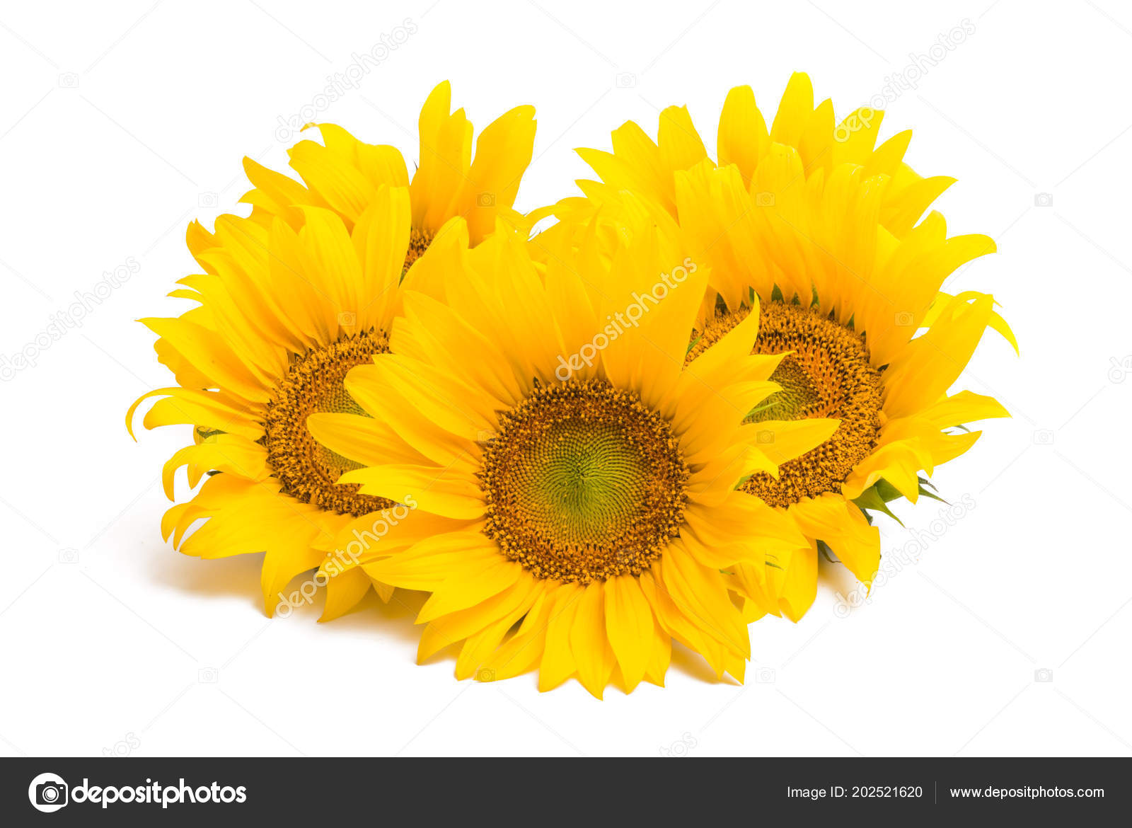 Fleur Tournesol Isole Sur Fond Blanc Photographie Ksena32 C 202521620