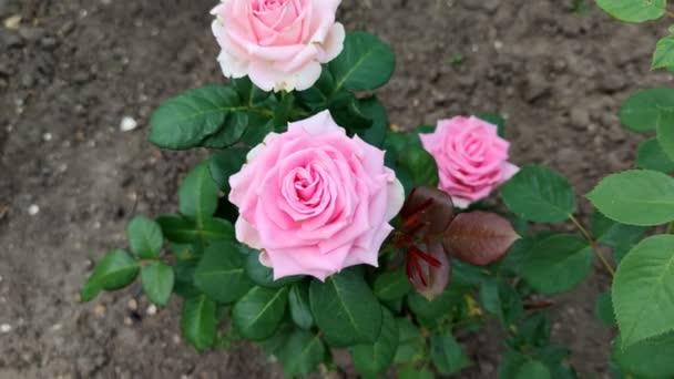 Rose in garden. Summer landscape