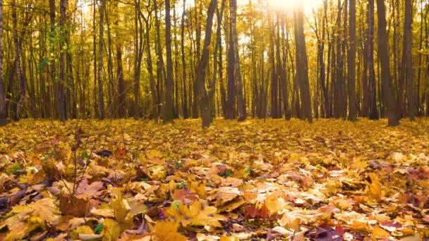 Podzimní les - javory a padající žluté listí. Podzimní krajina 4k